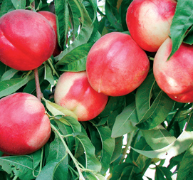 rootstocks for nectarines