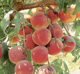 rootstocks for fresh market peaches