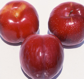 rootstocks for plums