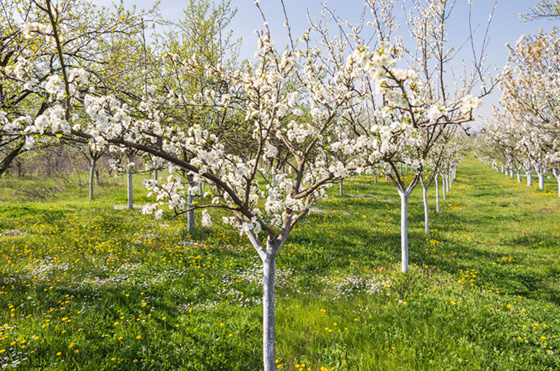 Burchell Nursery Provides Its Customers With The Utmost Planting Flexibility By Offering Most Of Varieties As Ready Start Potted Trees